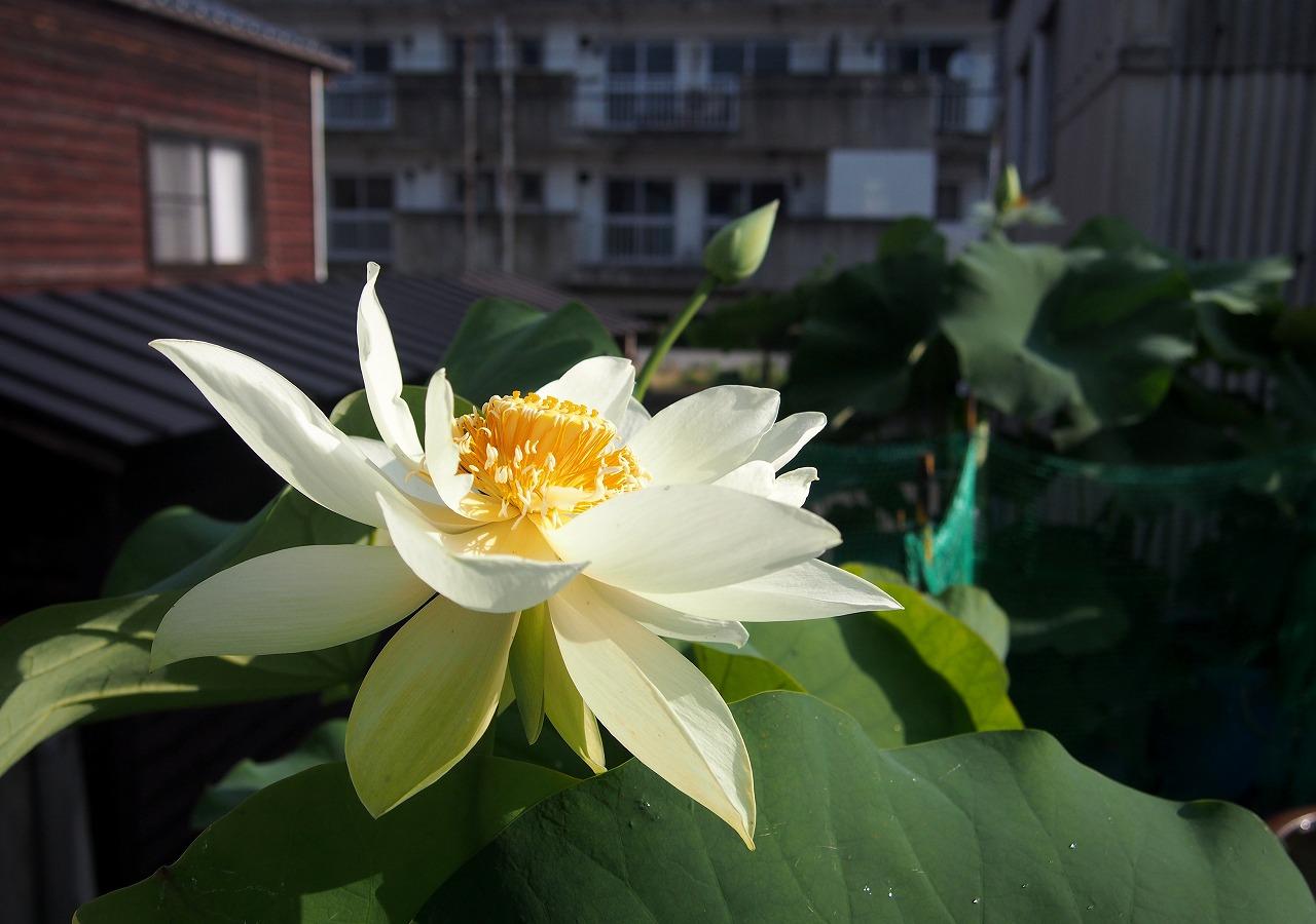 20160701-Lotus_Kougyokuhai02-O03.jpg