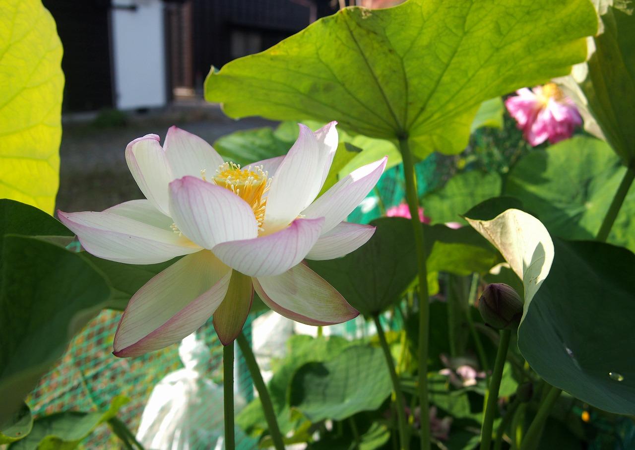 20160701-Lotus_Tsumabenichawanbasu-O01.jpg