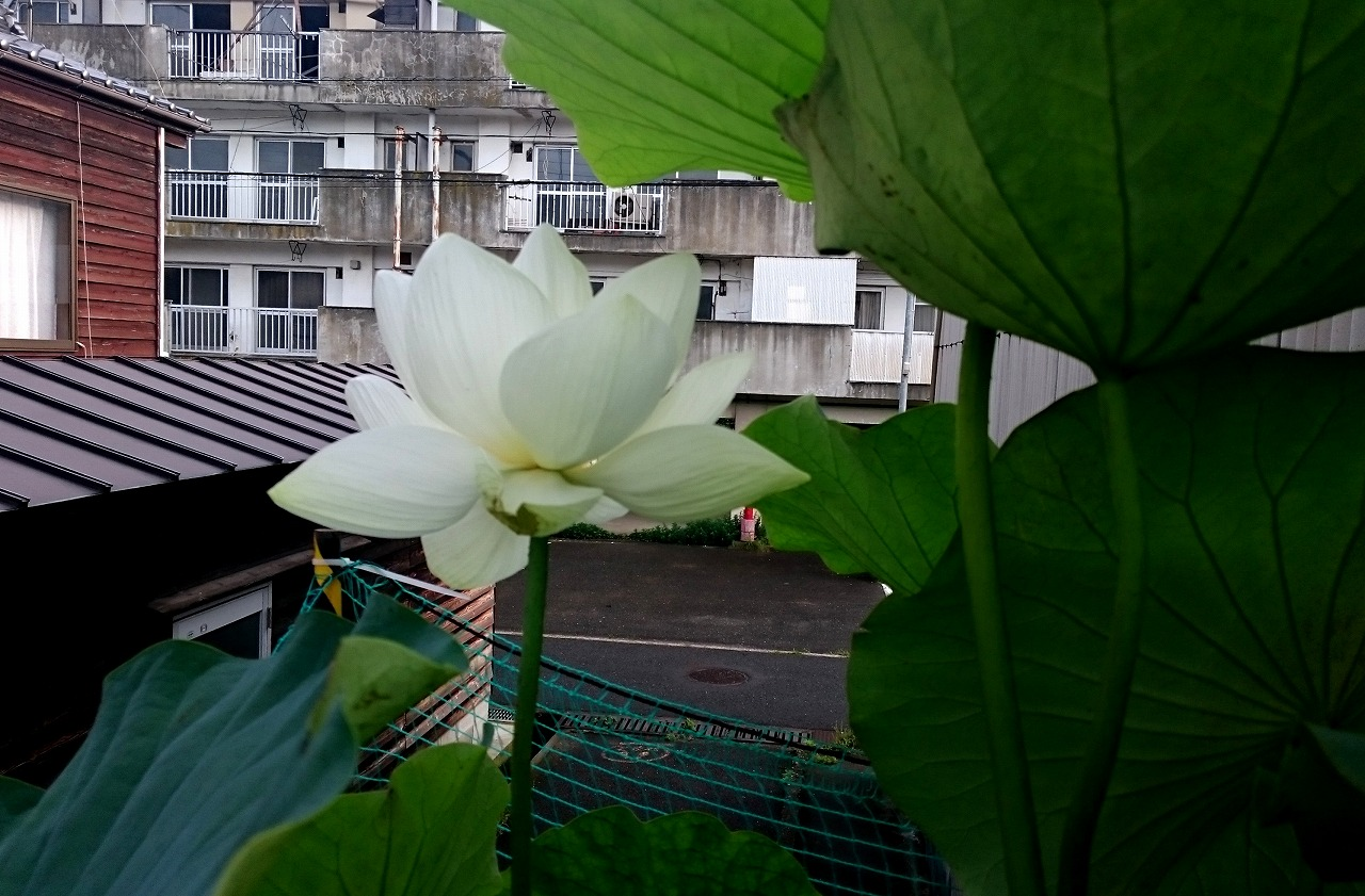 20160704-Lotus_Shinnyoren-X01.jpg