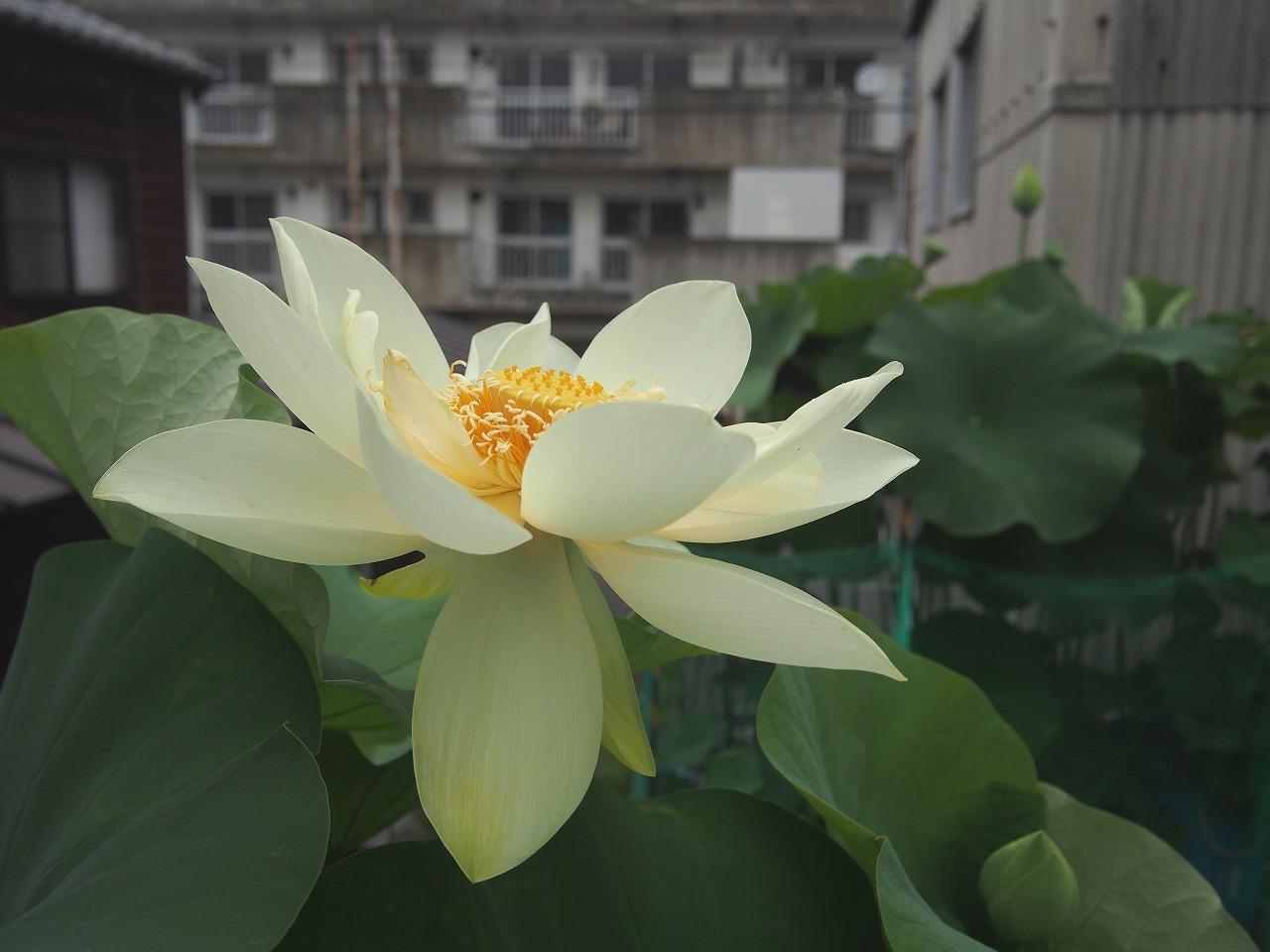 20160707-Lotus_Kougyokuhai02-O01.jpg