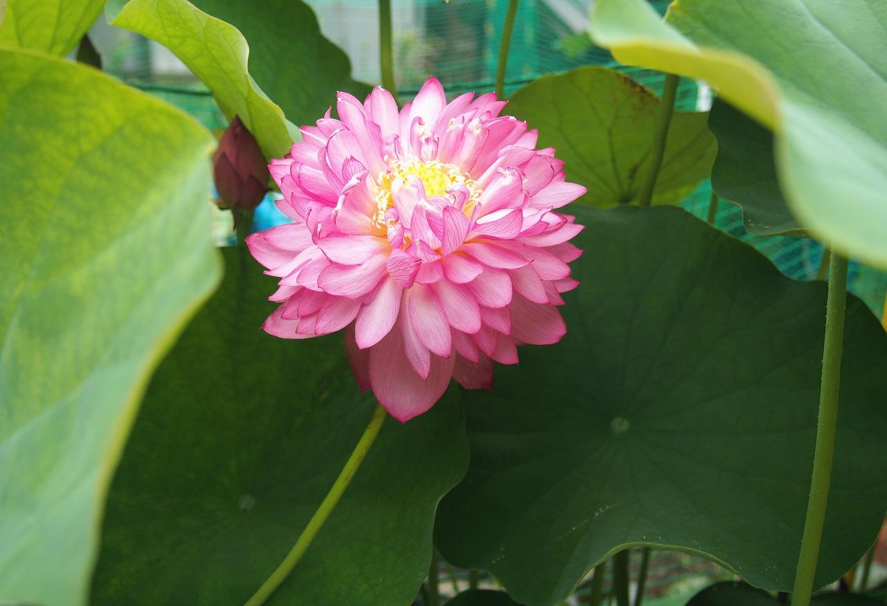 20160707-Lotus_Yaechawanbasu-O01.jpg