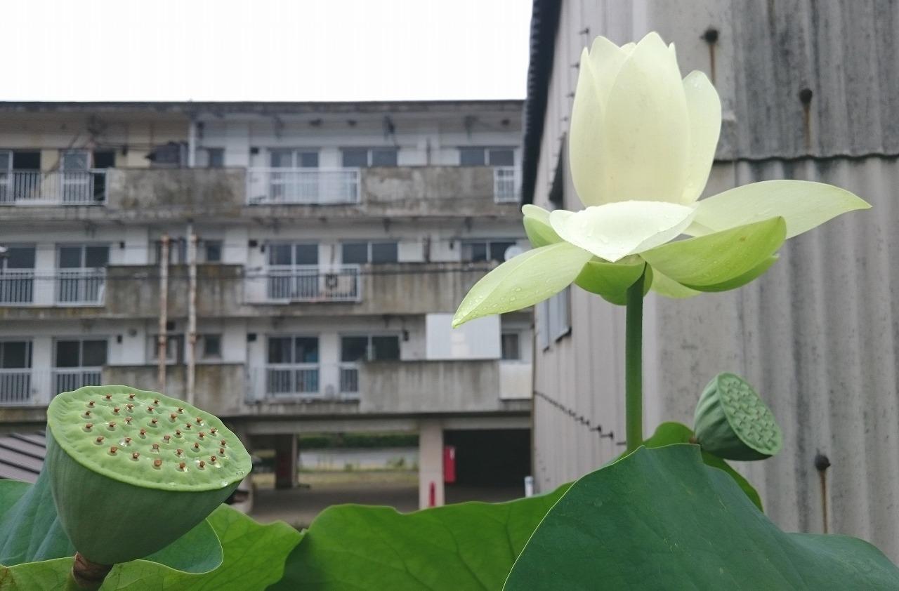 20160708-Lotus_Kougyokuhai-X02.jpg