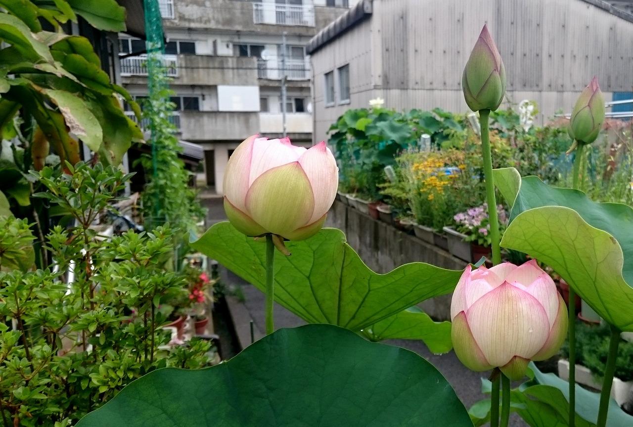 20160709-Lotus_Tsumabenichawanbasu-X01.jpg