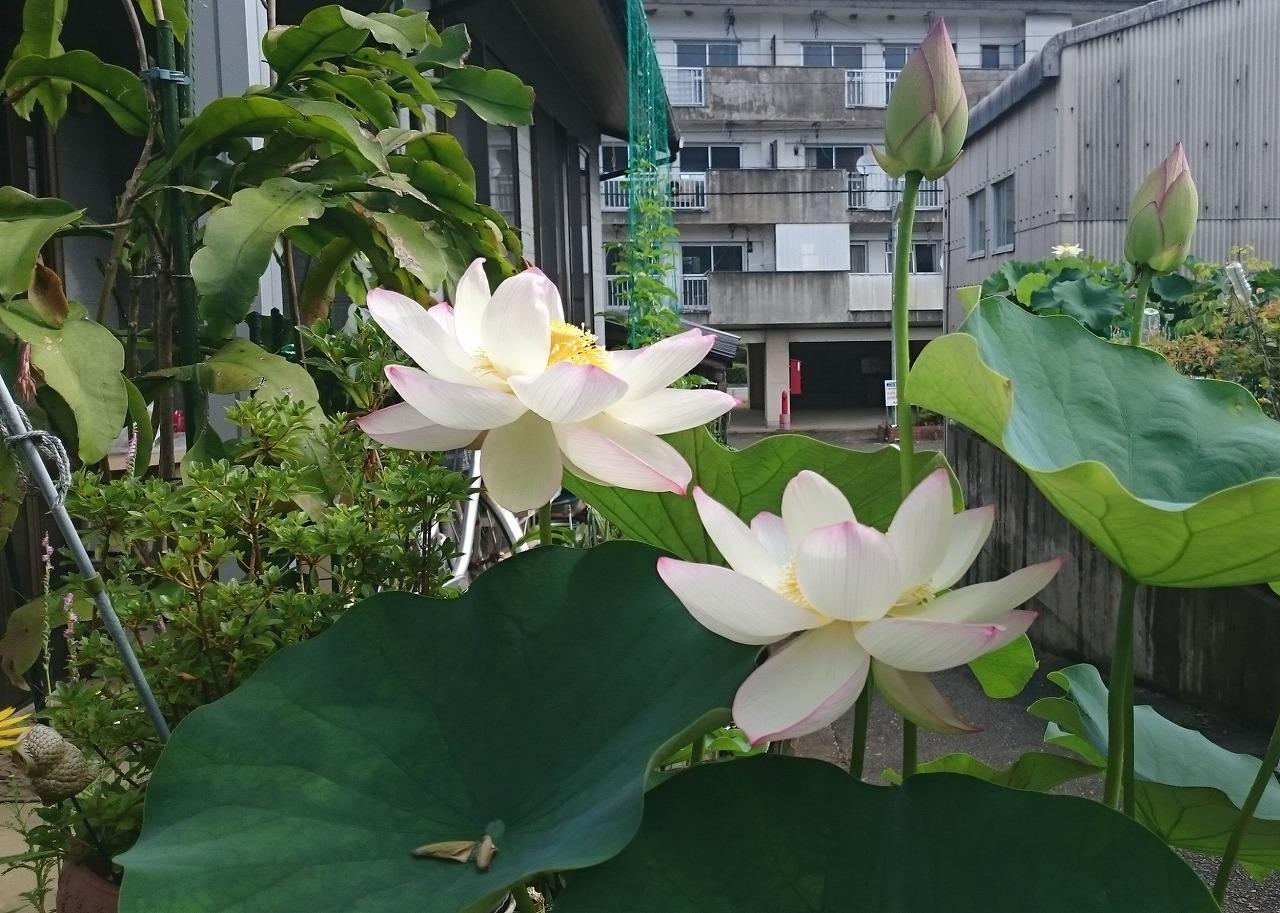 20160710-Lotus_TsumabeniChawanbasu-X02.jpg
