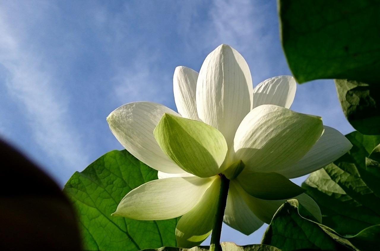 20160711-Lotus_Shinnyoren-X06.jpg