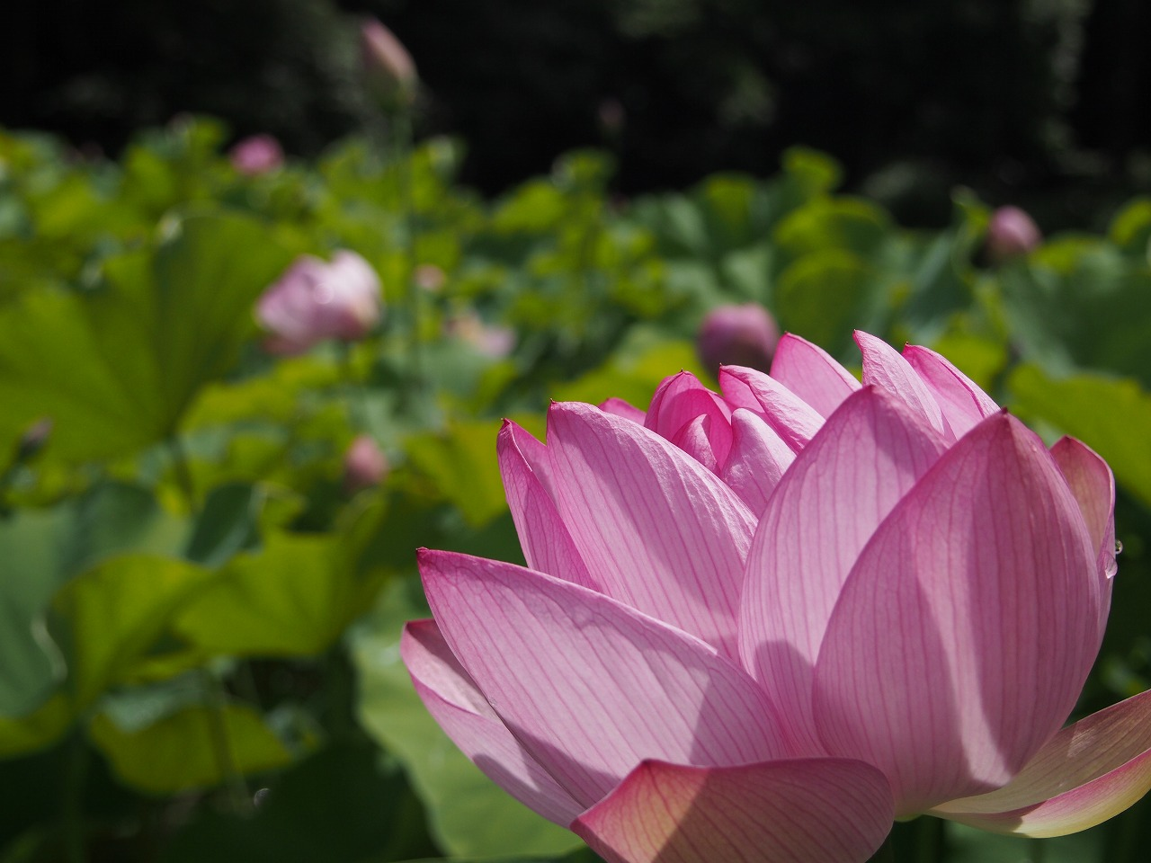 20160716-Lotuses_Farm-O04.jpg