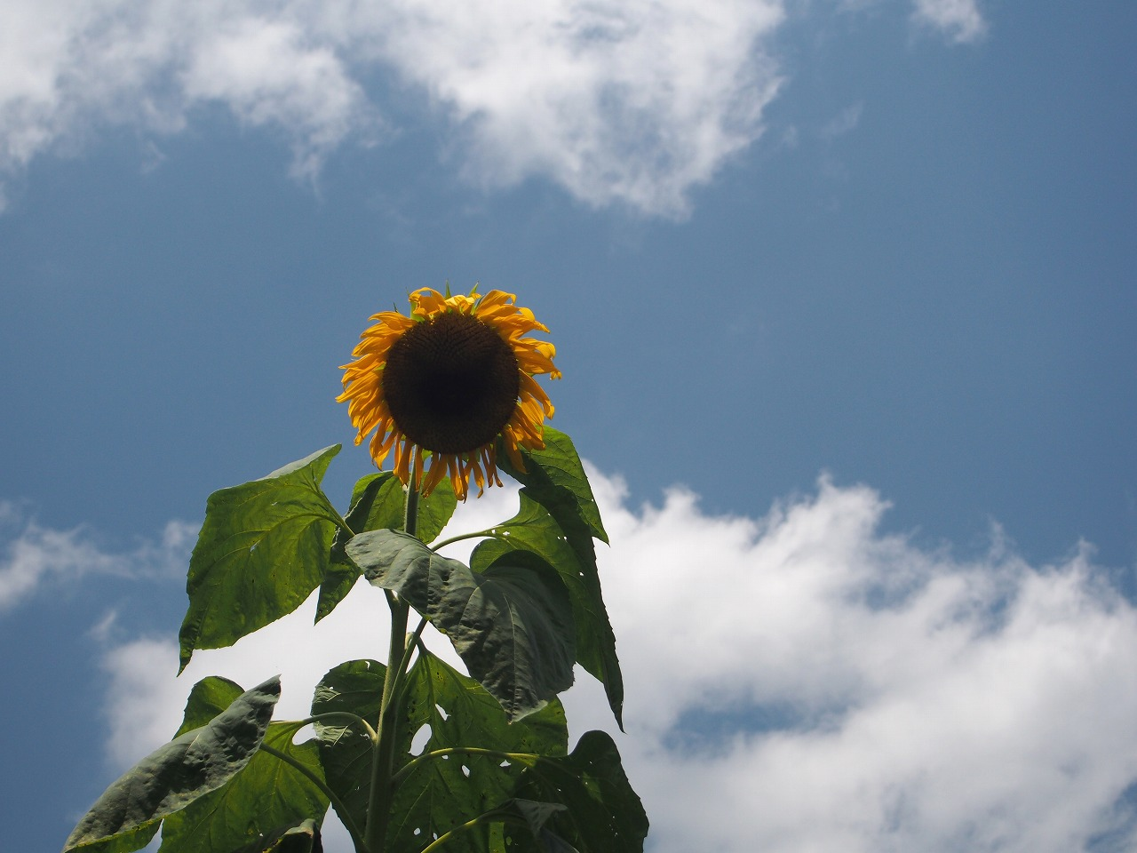 20160716-SunFlower-O01.jpg