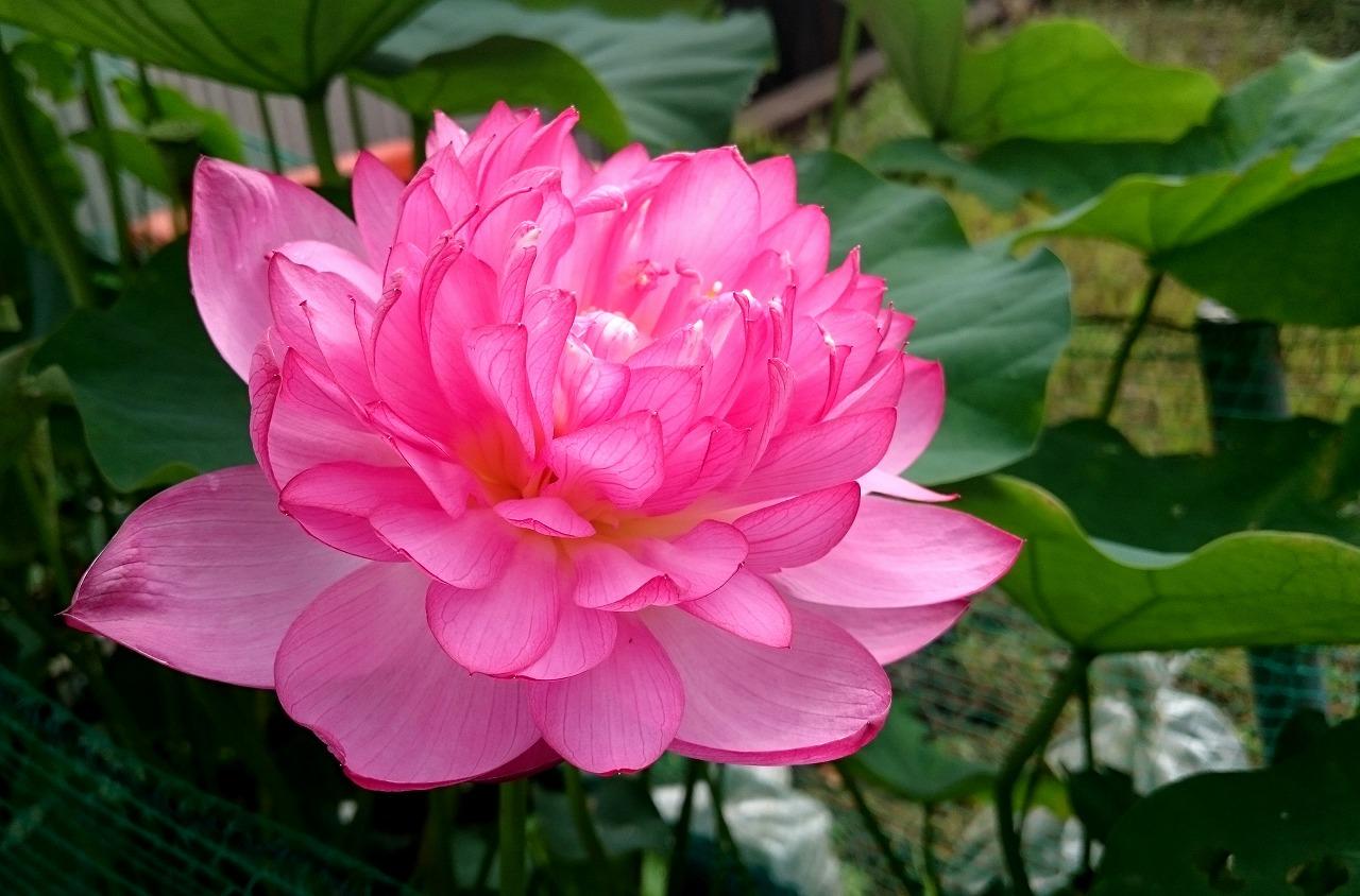 20160717-Lotus_YaeChawanbasu-X01.jpg