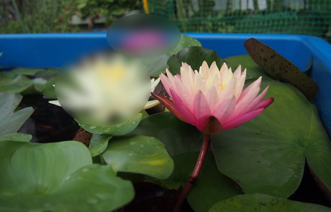 20160717-Waterlilies-O02.jpg