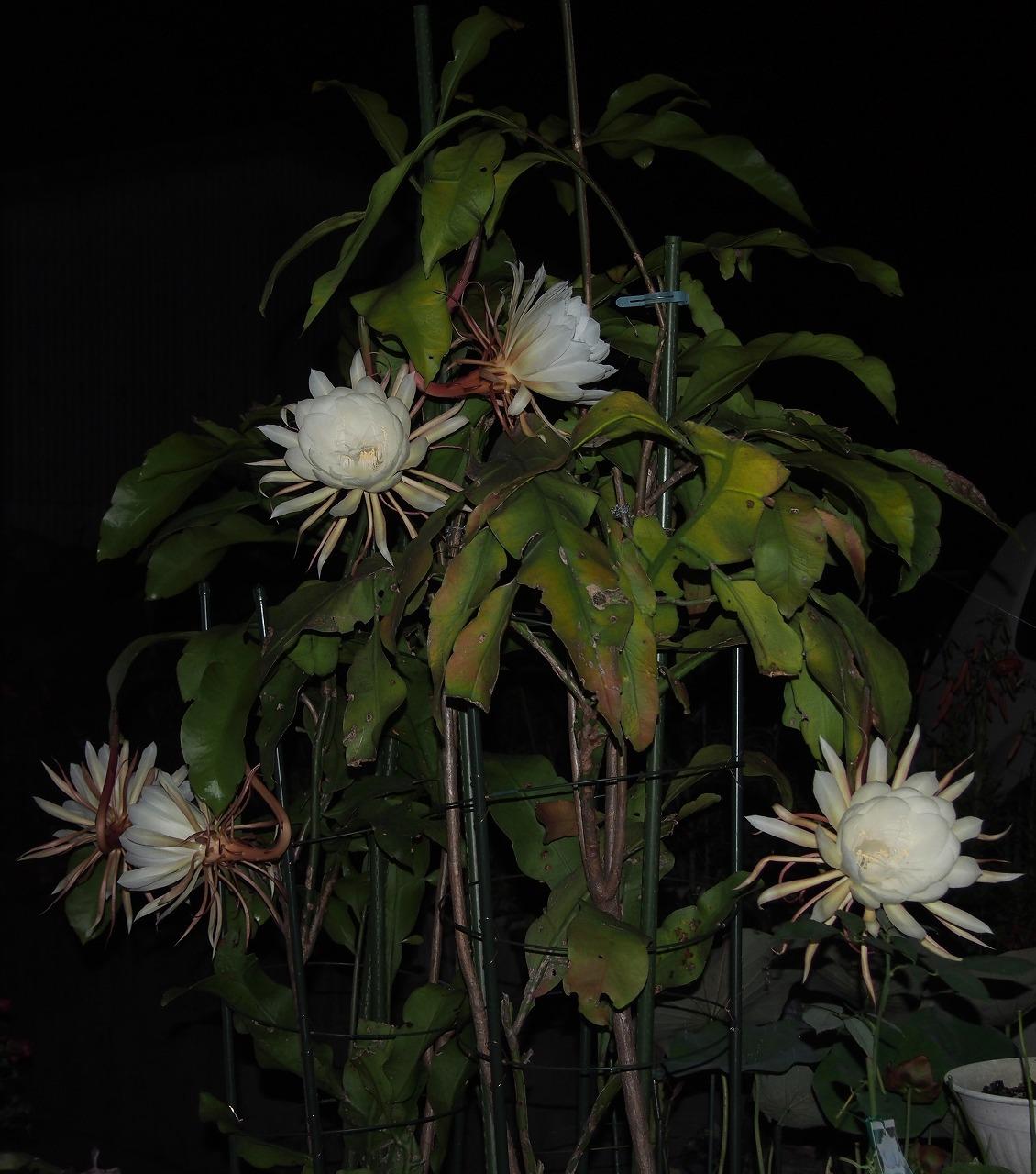 20160720-EpiphyllumOxypetalum-O01.jpg