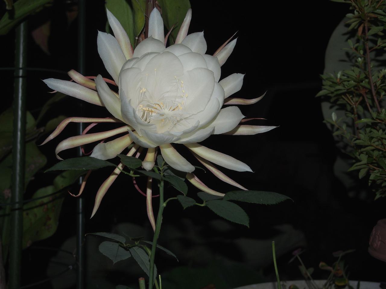 20160720-EpiphyllumOxypetalum-O04.jpg