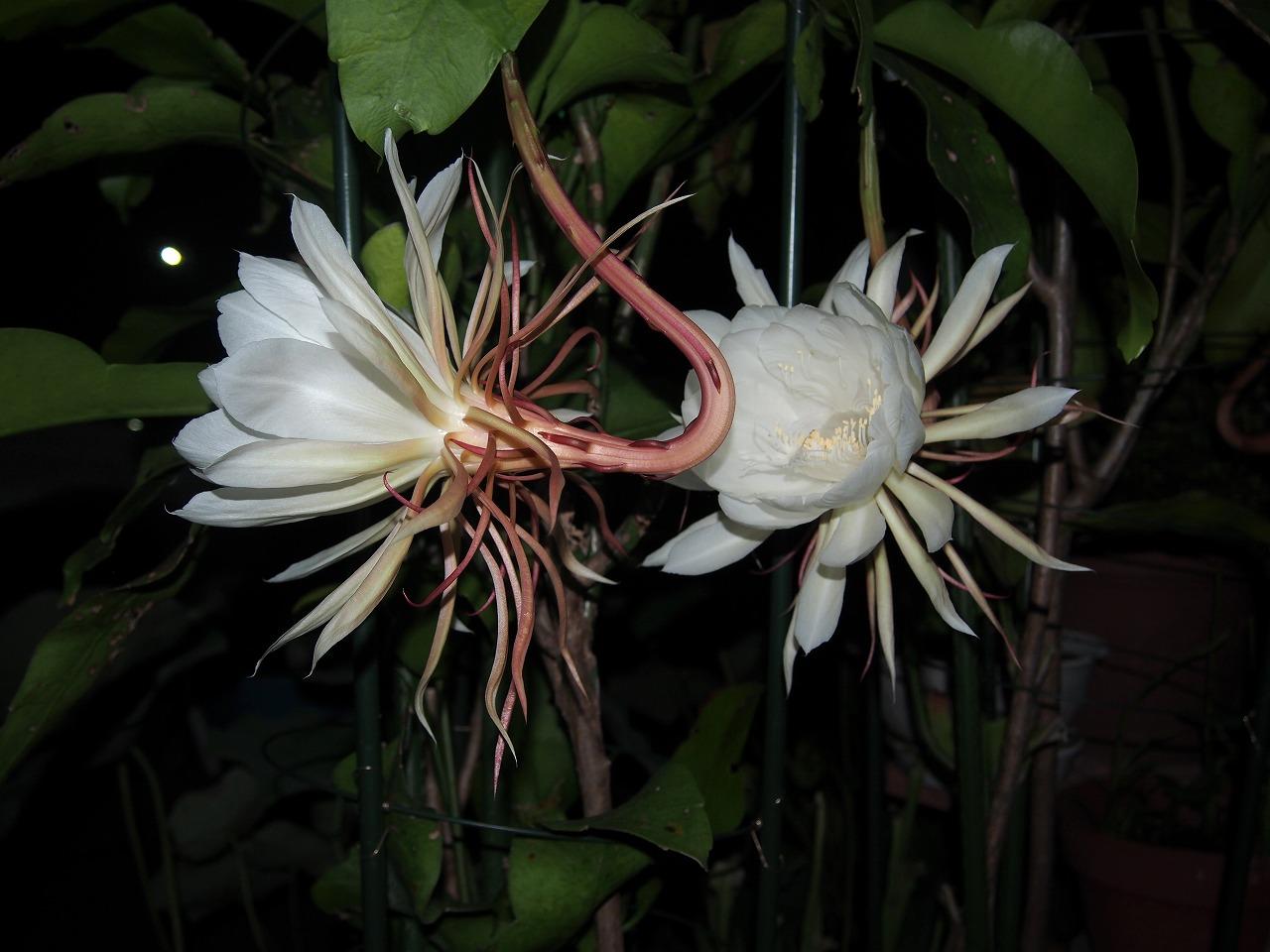 20160720-EpiphyllumOxypetalum-O05.jpg
