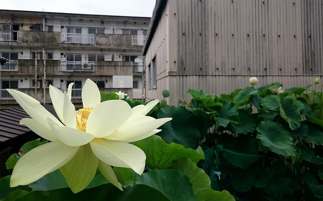 20160725-Lotuses_Kougyokuhai-X01.jpg