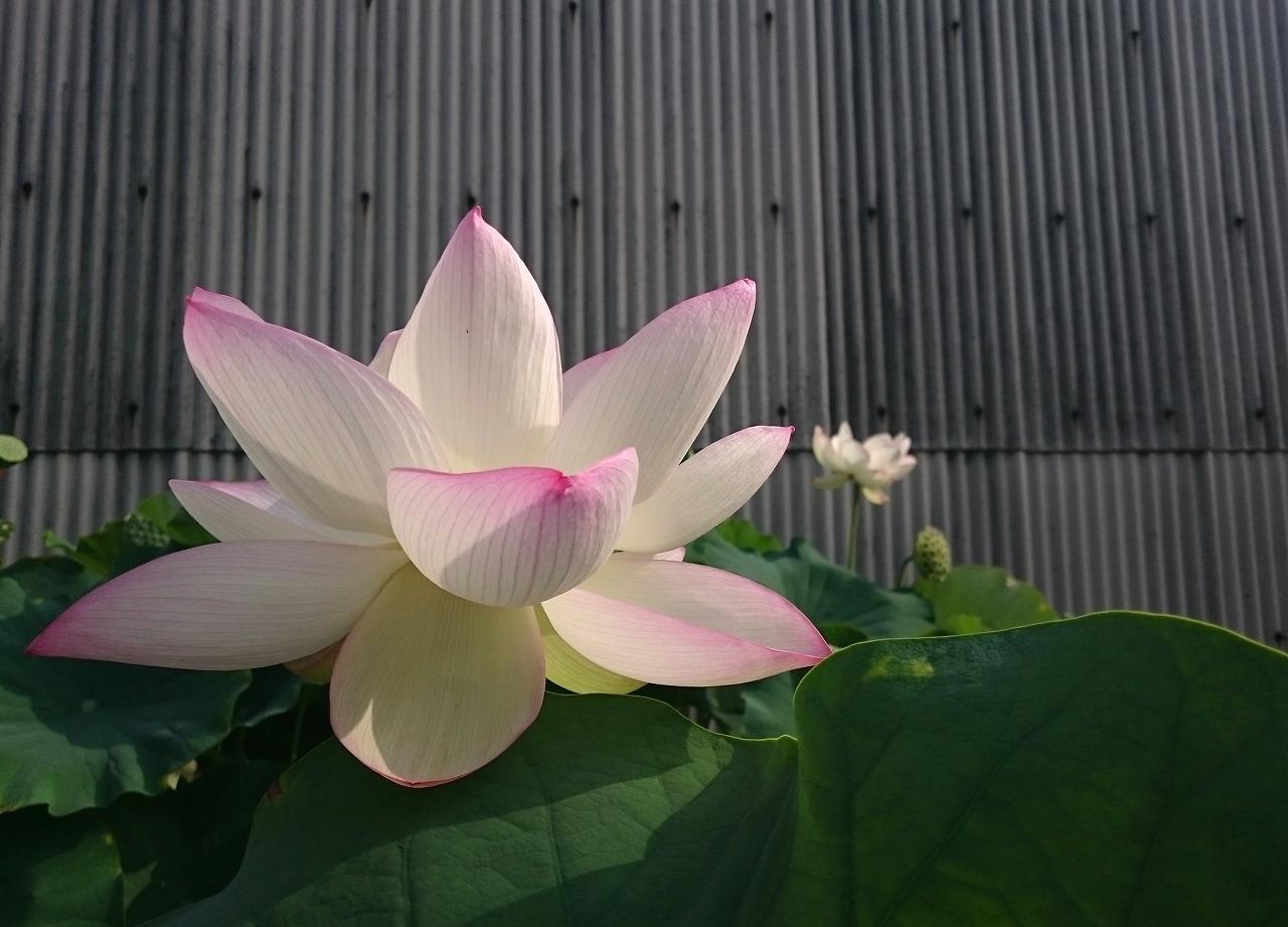 20160803-Lotus_TsumabeniCawanbasu-X01.jpg