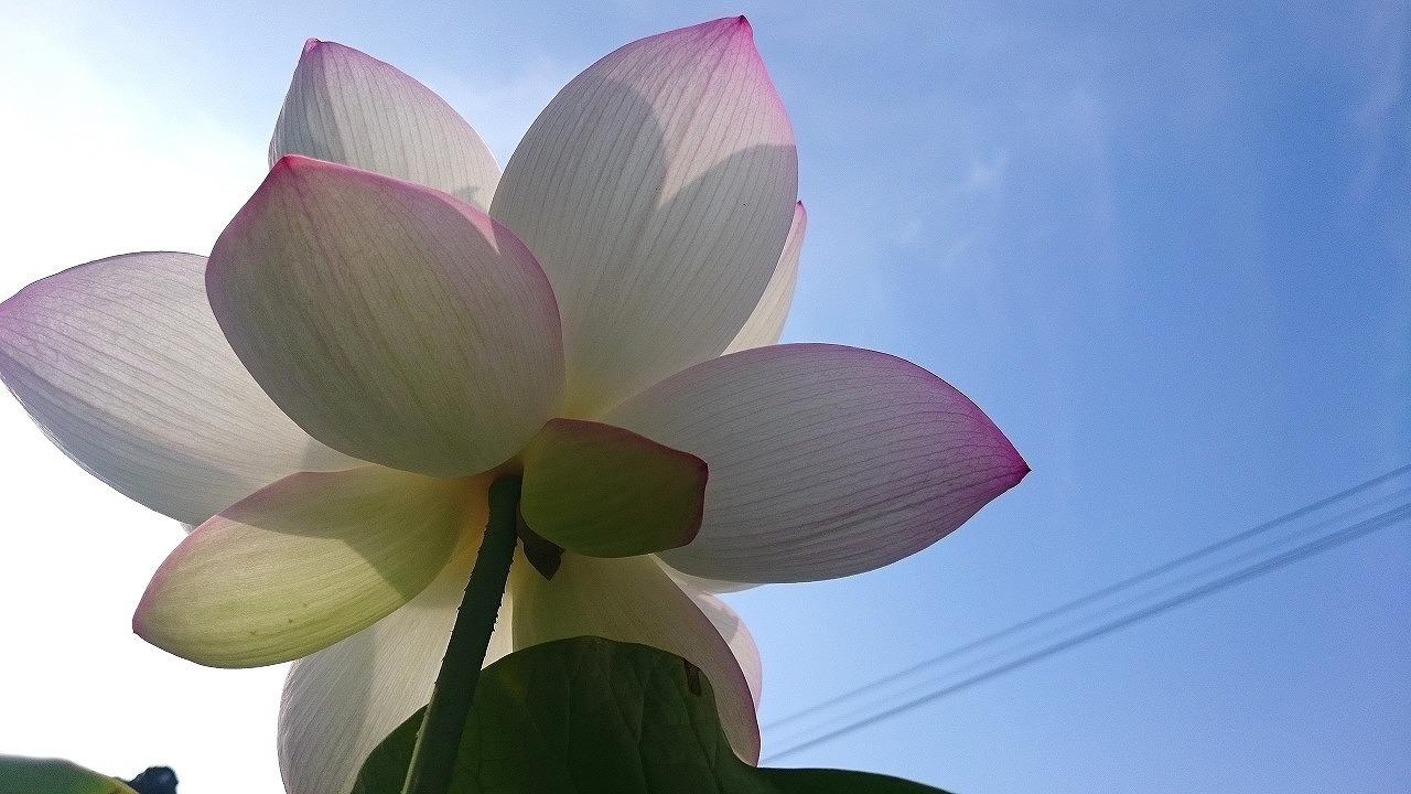 20160803-Lotus_TsumabeniCawanbasu-X03_B.jpg