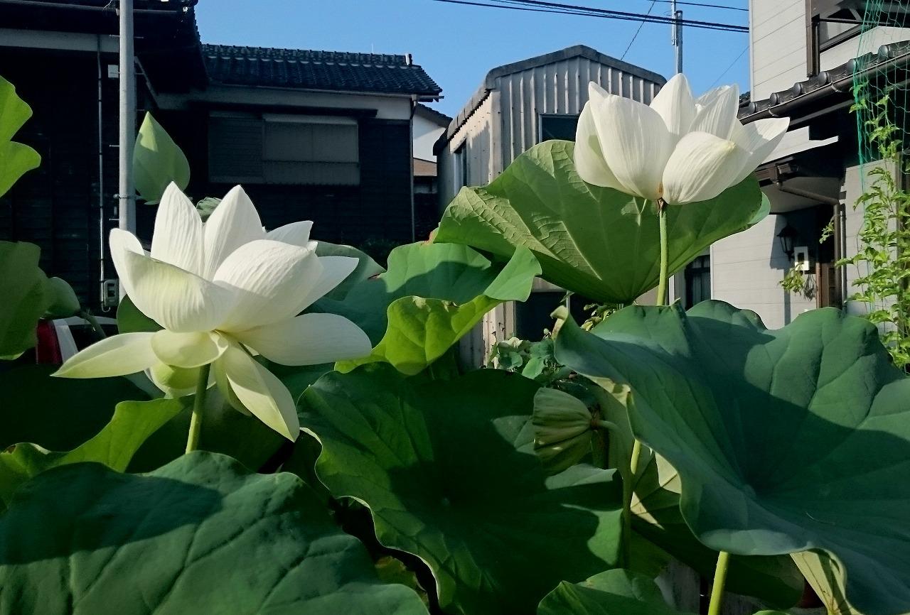 20160811-Lotus_Shinnyoren-X02.jpg