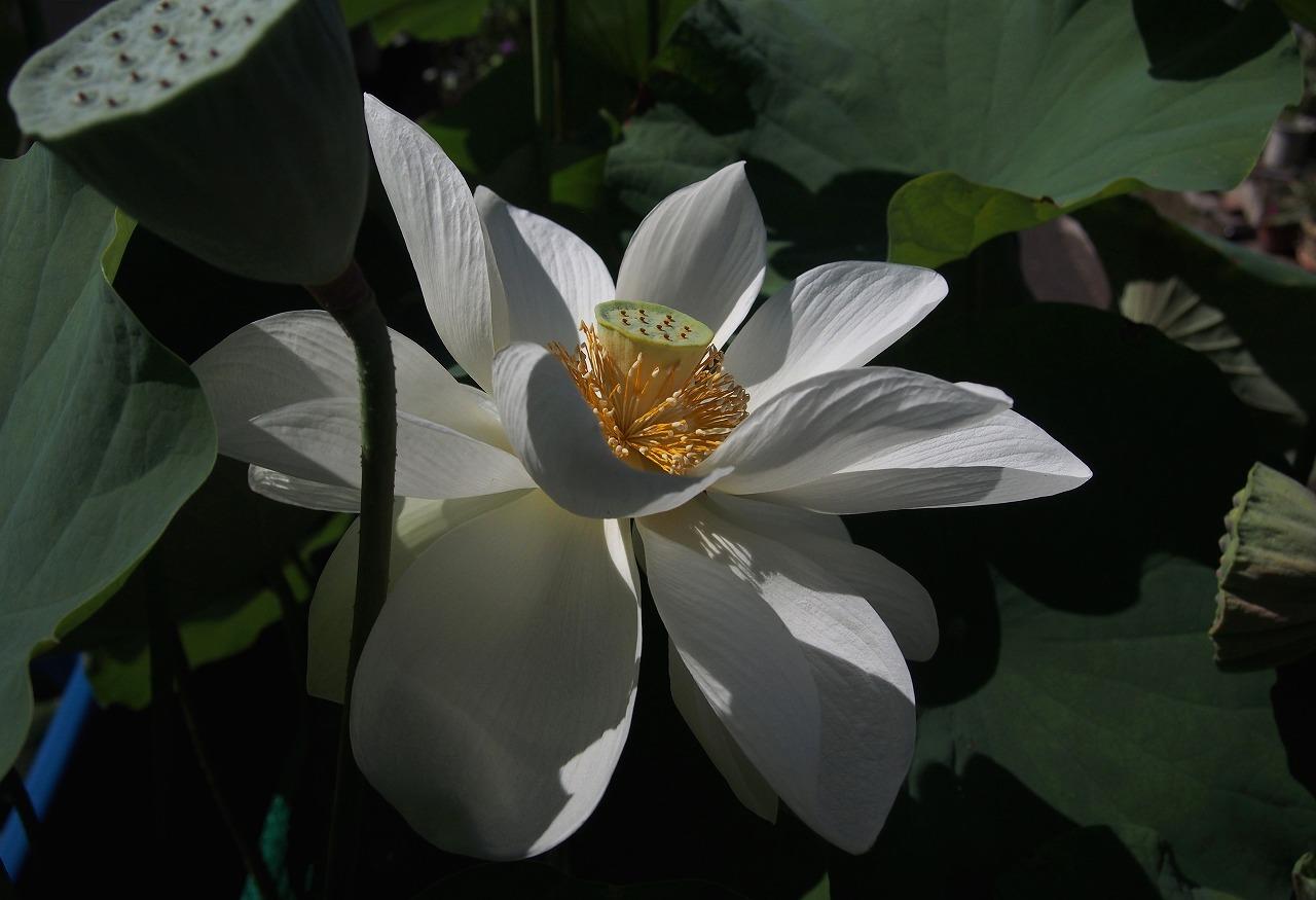 20160812-Lotus_Shinnyoren-O02_B.jpg