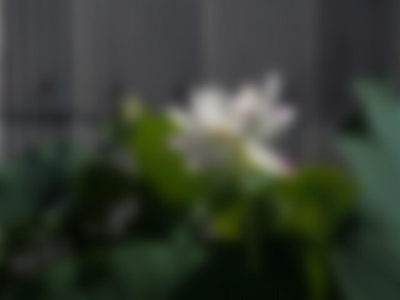 20160812-Lotus_Tenjikumadarabasu-O02_B.jpg