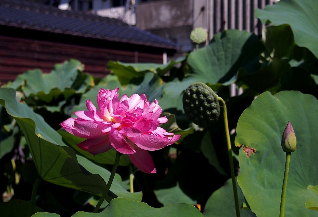 20160812-Lotus_Yaechawanbasu-O02.jpg