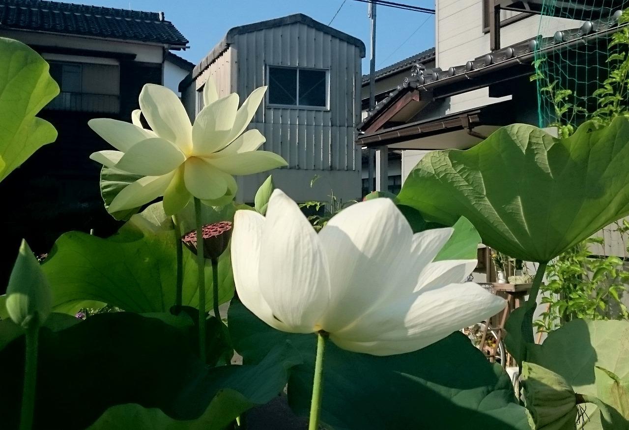 20160813-Lotus_Kougyokuhai_Shinnyoren-X01.jpg