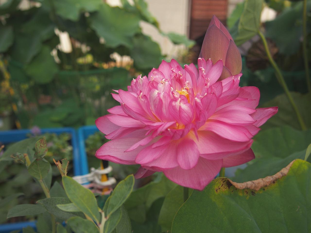 20160820-Lotus_Yaechawanbasu-O01.jpg