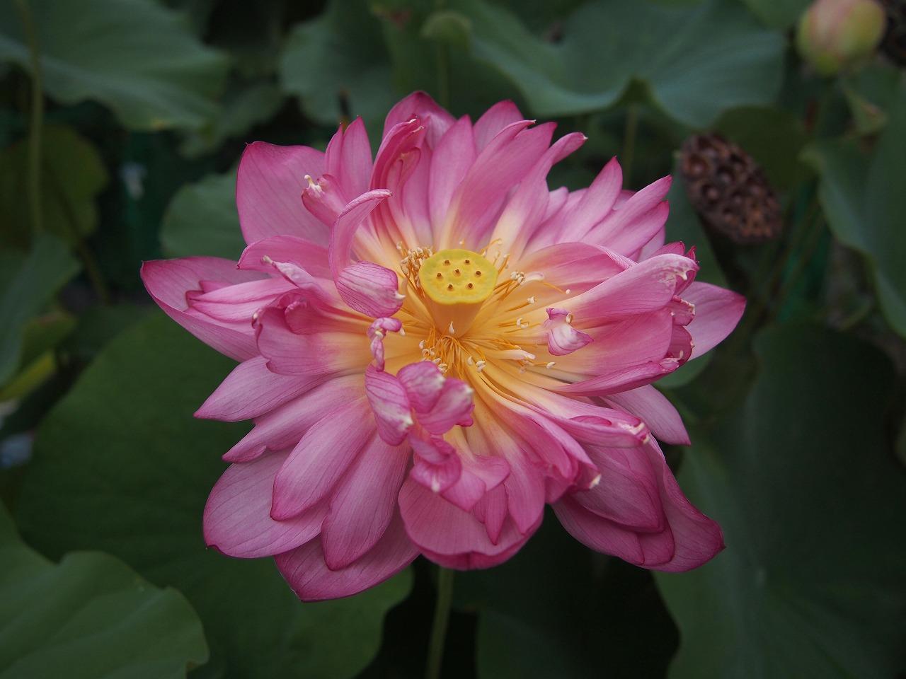 20160820-Lotus_Yaechawanbasu-O02.jpg