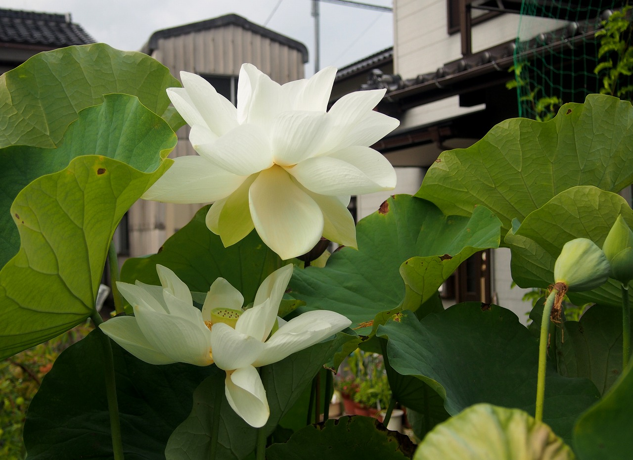 20160820-Shinnyoren-O01.jpg