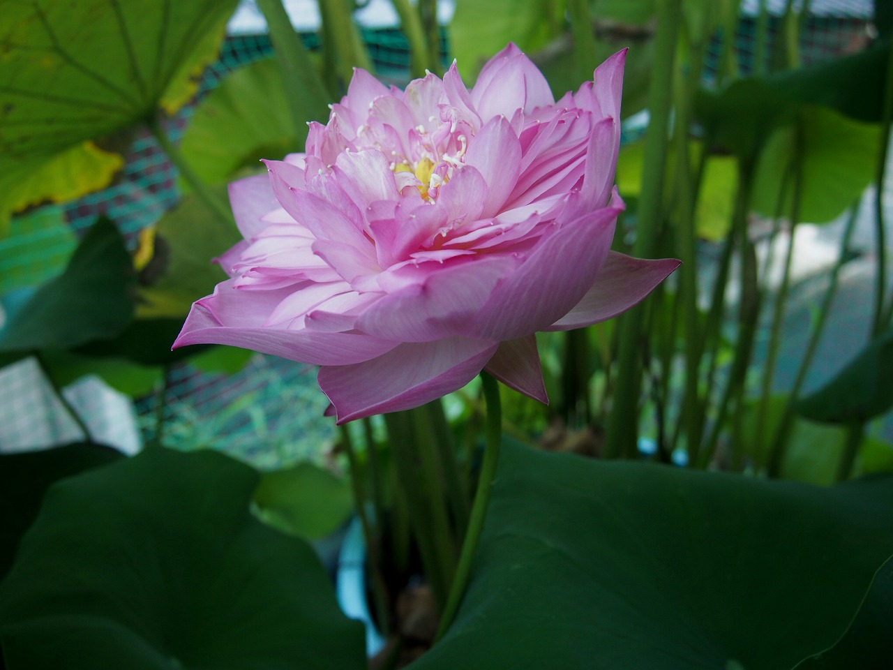 20160821-Lotus_Hishinko-O02_B.jpg