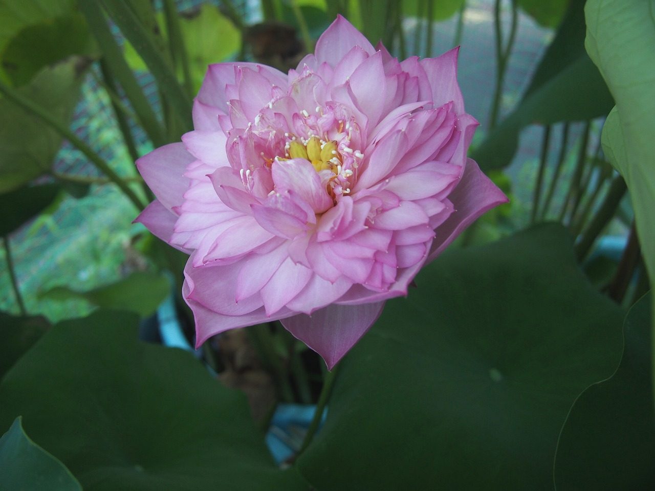 20160821-Lotus_Hishinko-O04.jpg