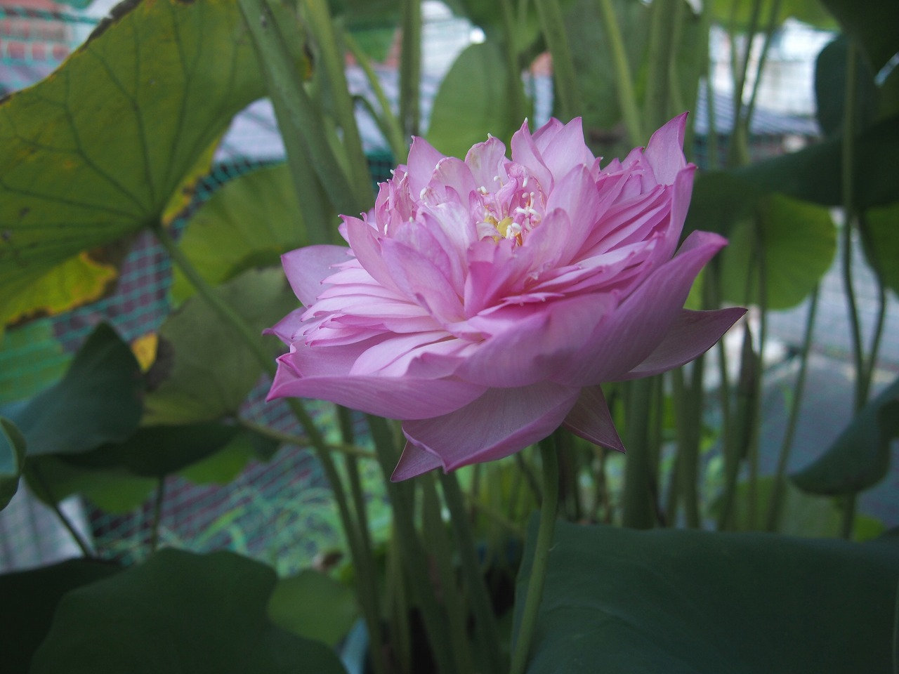 20160821-Lotus_Hishinko-O06.jpg