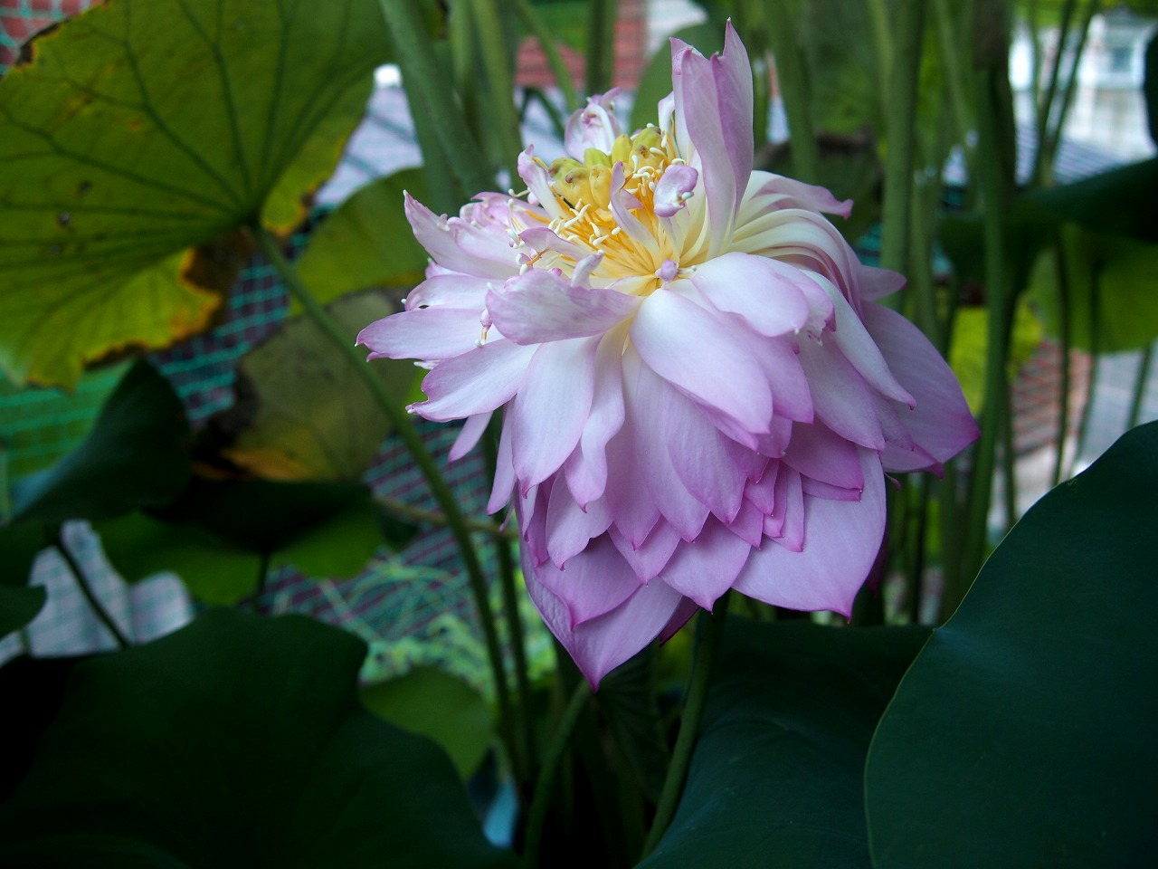 20160822-Lotus_Hishinko-O01.jpg