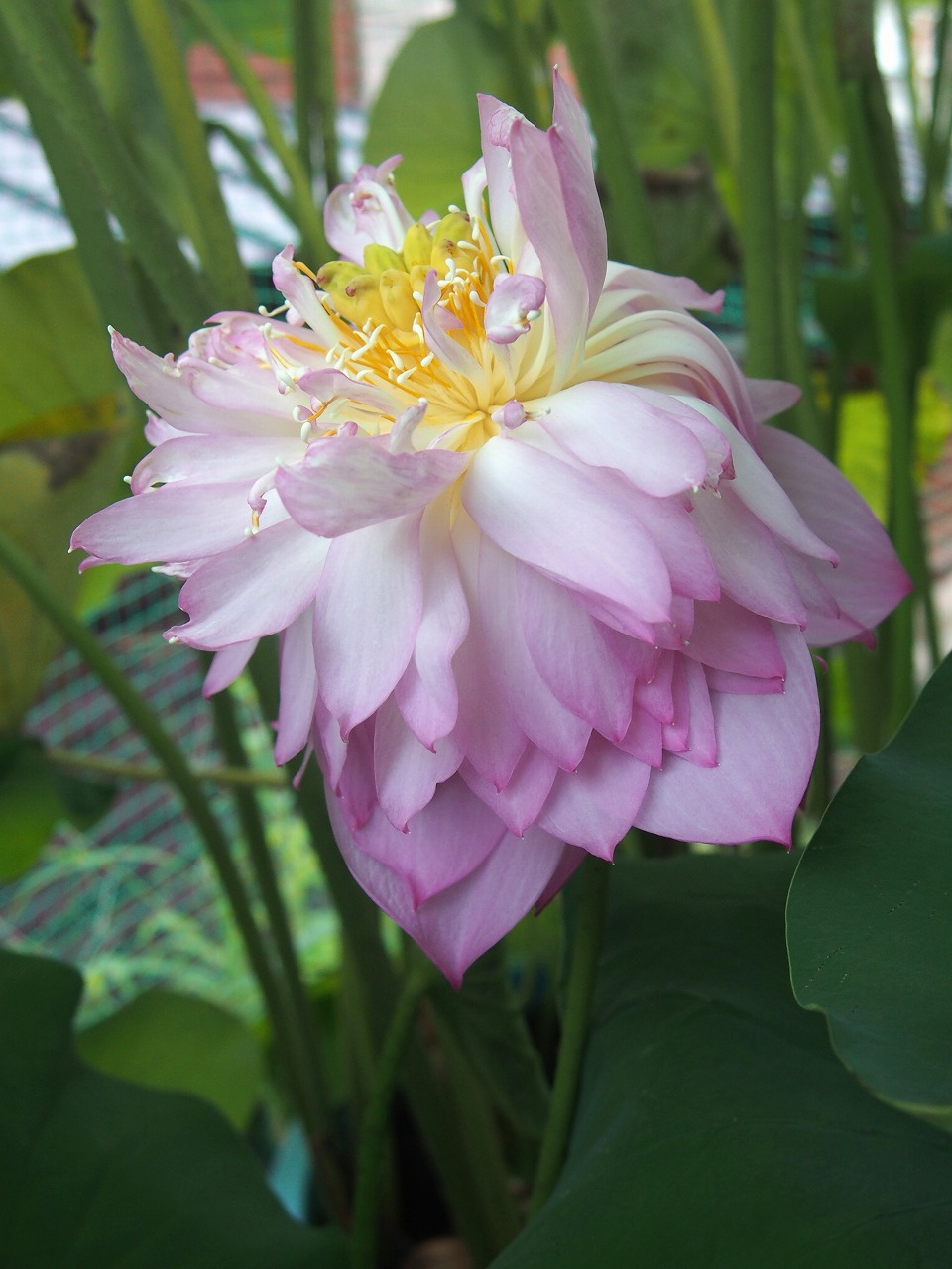 20160822-Lotus_Hishinko-O05.jpg