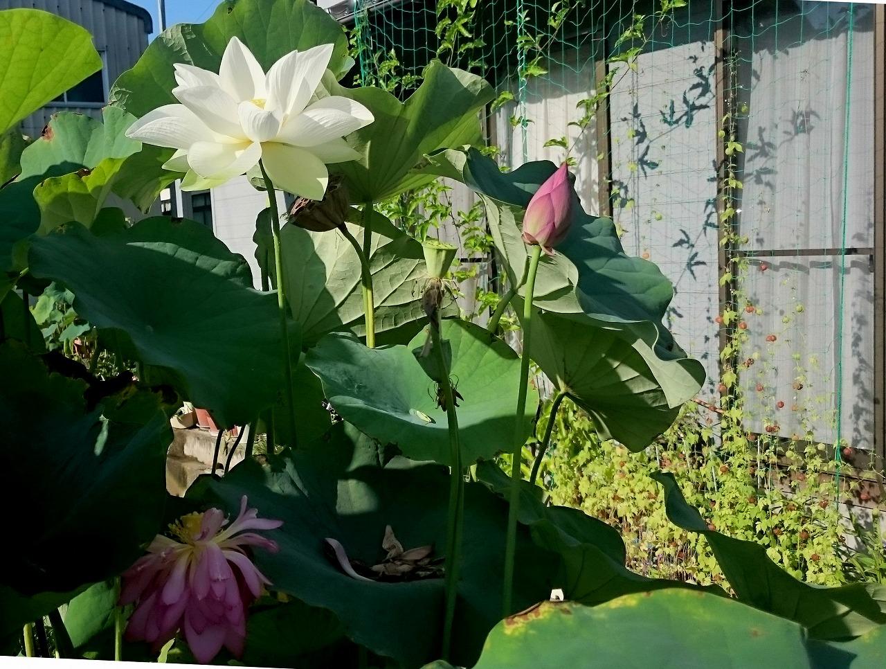 20160824-Lotus_Shinnyoren-X01.jpg