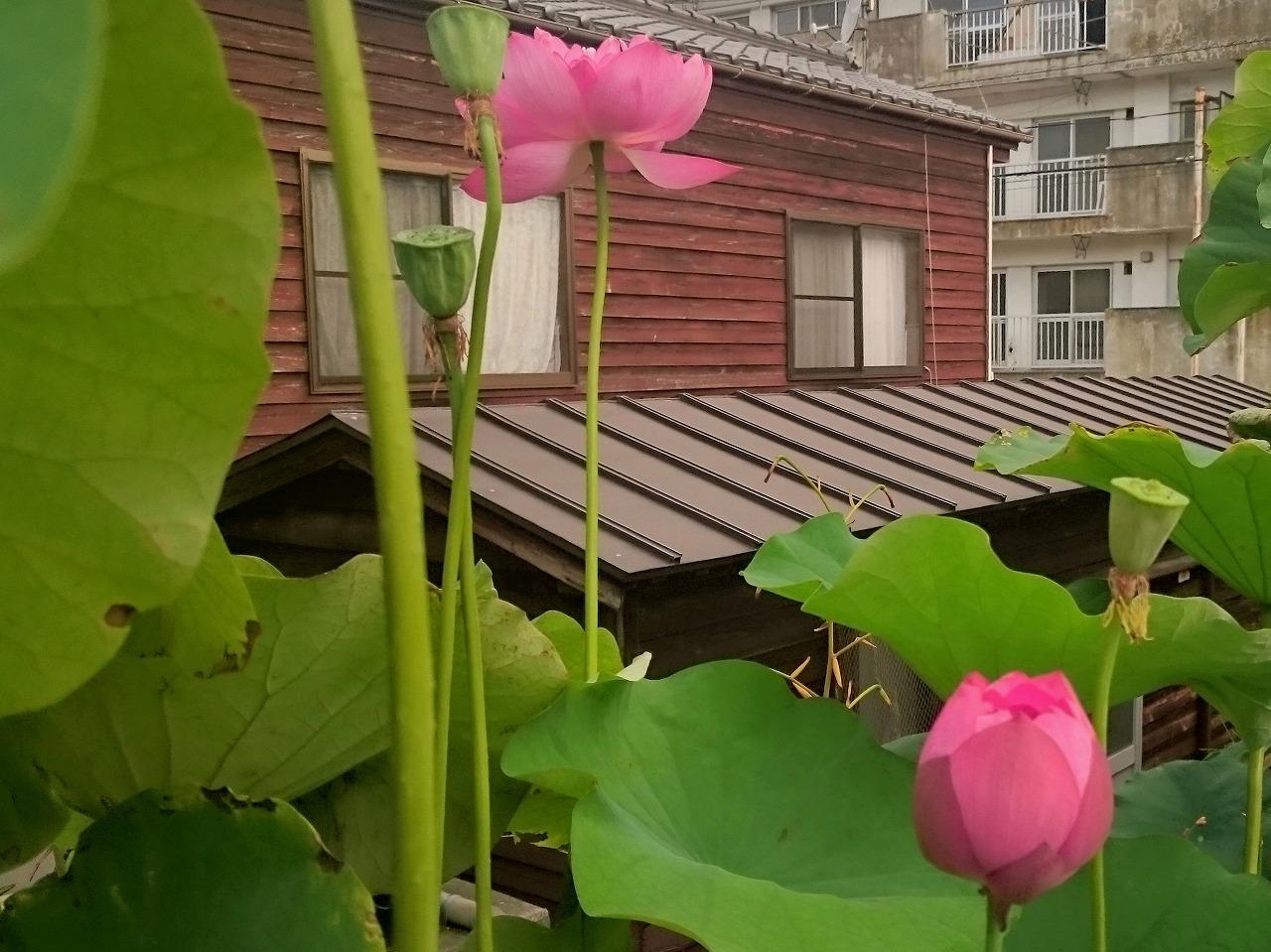 20160828-Lotus_Yaechawanbasu-X02.jpg