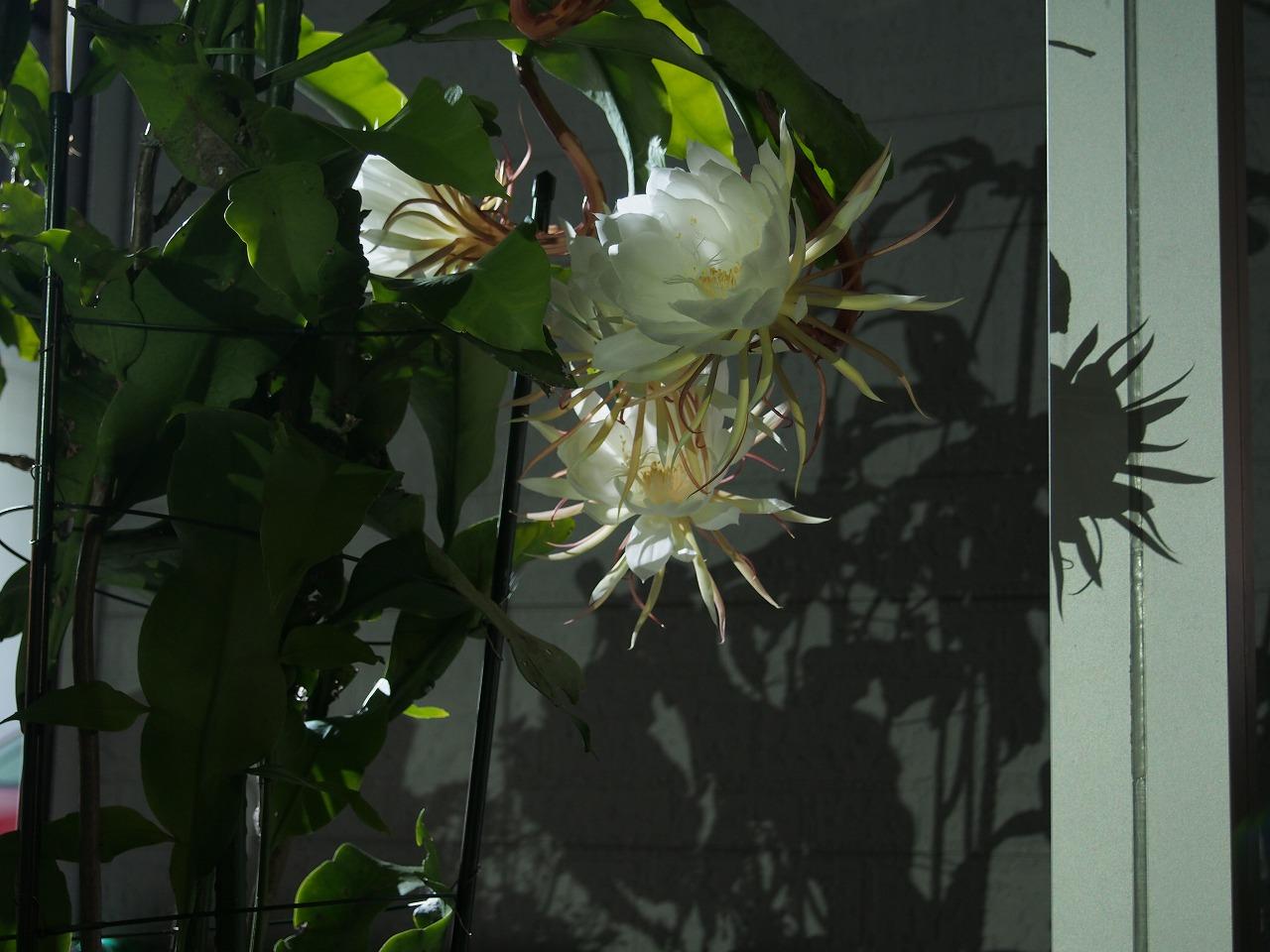 20160910-EpiphyllumOxpetalum-O05.jpg