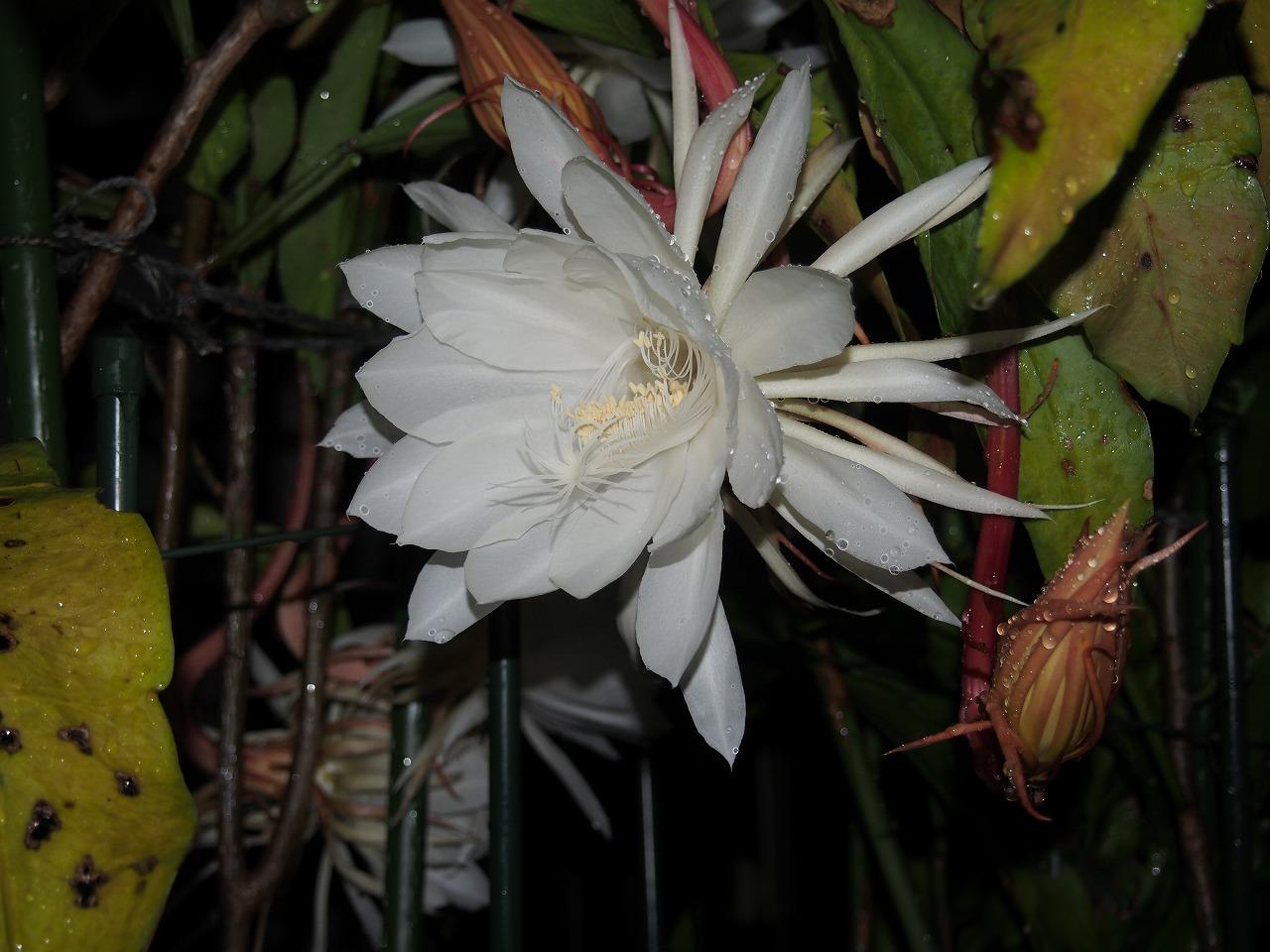 20160925-EpiphyllumOxypetalum-O02.jpg