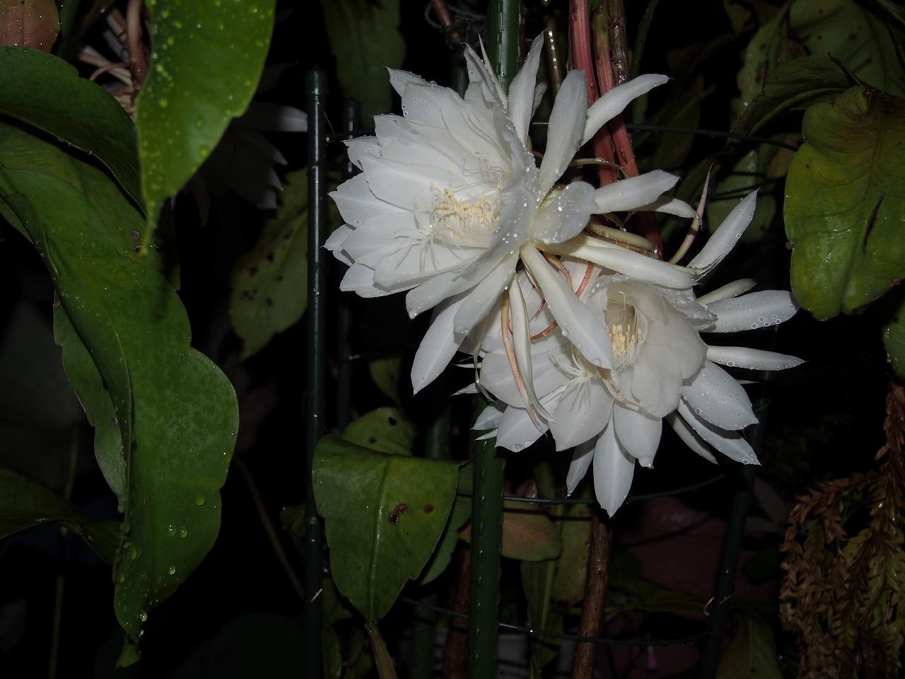20160925-EpiphyllumOxypetalum-O04.jpg
