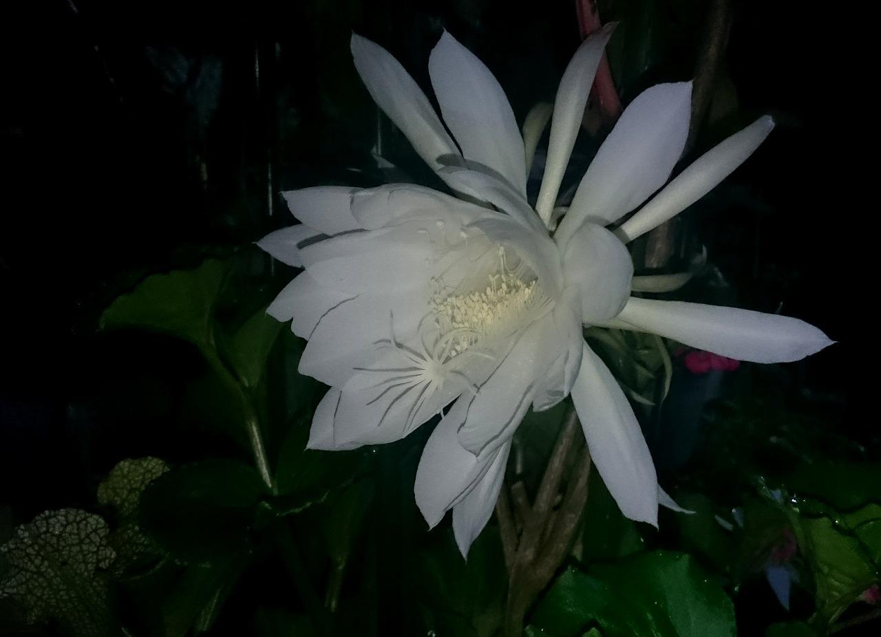 20160926-EpiphyllumOxypetalum-X05.jpg