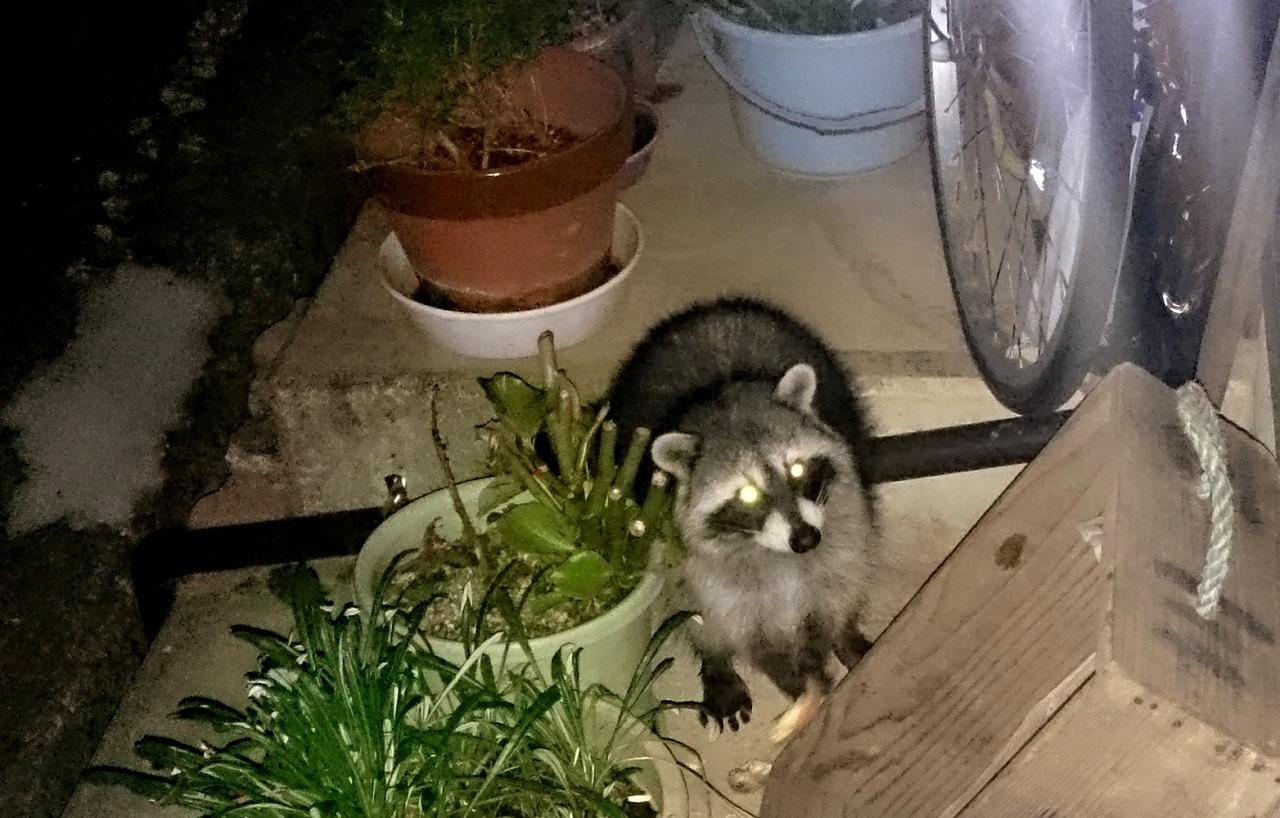 20161110-Raccoon-X01.jpg