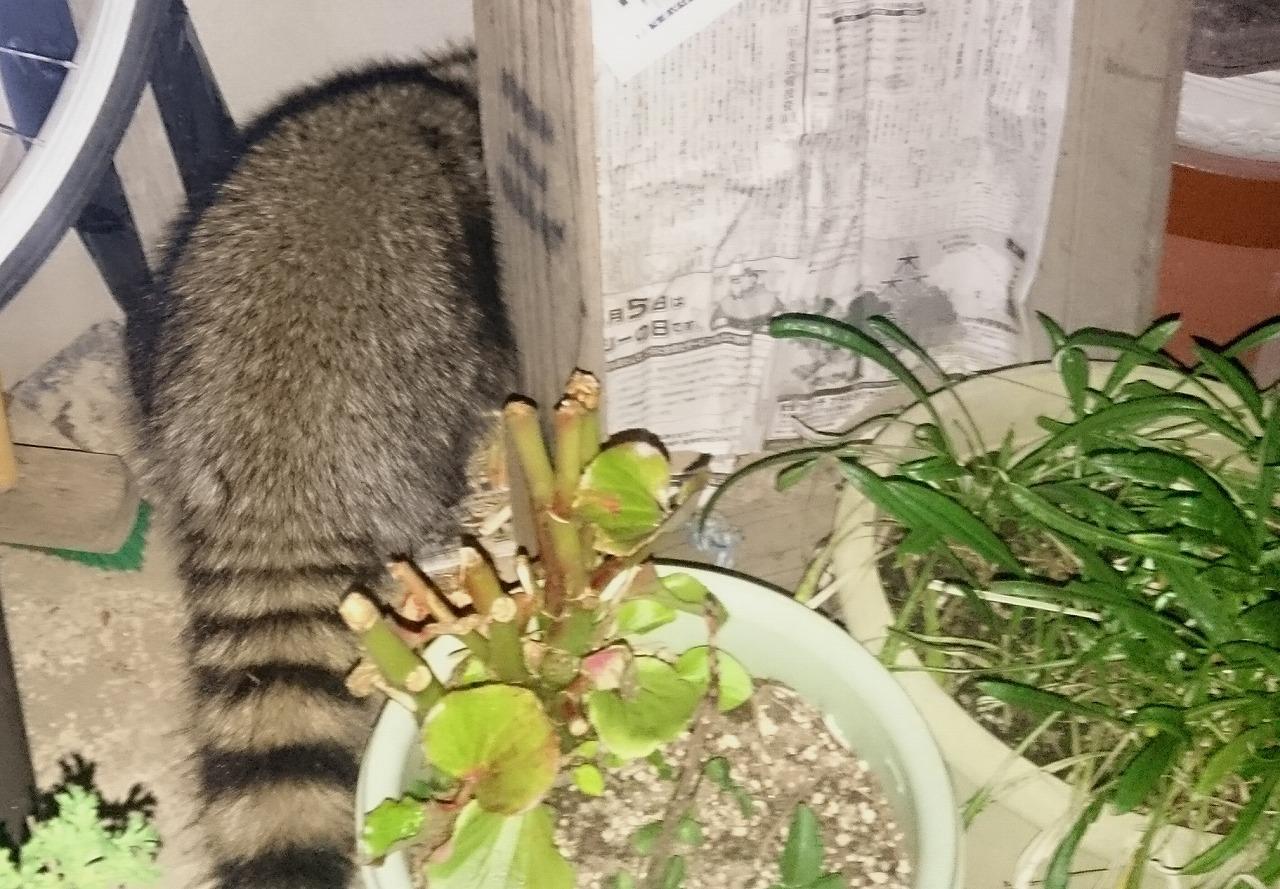 20161110-Raccoon-X02.jpg