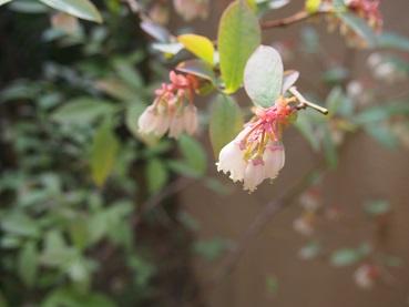 ブルベリ花