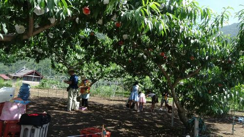 2016H28一宮御坂山梨県内桃狩り食べ放題時間無制限できるおすすめ農園