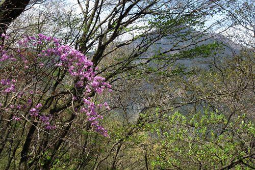 武甲山とミツバツツジ