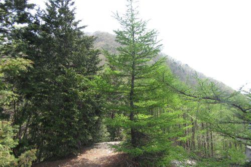 カラマツ林と雁ヶ腹摺山