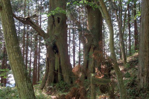 浅間峠の大径木