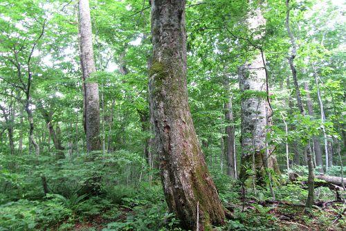 ブナトチ巨木林
