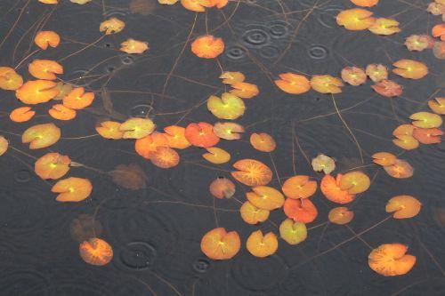 ヒツジグサの紅葉