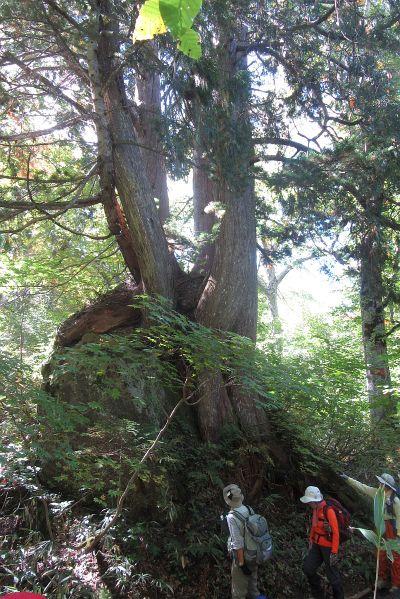 クロベ巨木