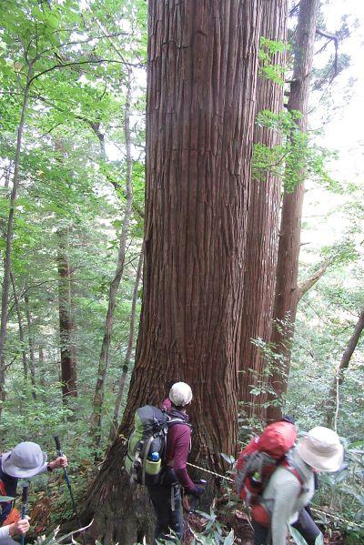 秋田杉巨木