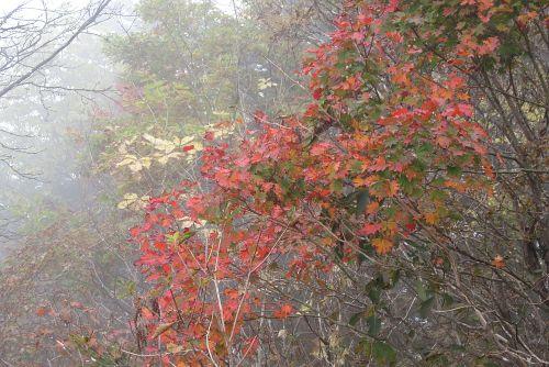 霧の中のカエデ